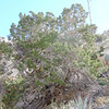 California Juniper (Juniperus californica) CUPRESSACEAE