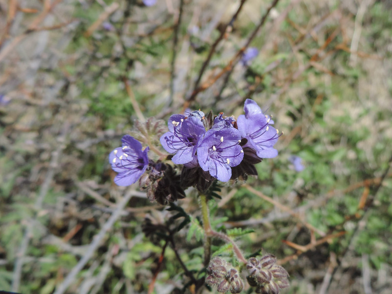 Common Phacelia (Phacelia distans) BORAGINACEAE