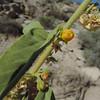 Velvet Mallow (Horsfordia newberryi) MALVACEAE