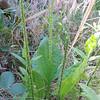 Common Plantain (Plantago major) PLANTAGINACEAE