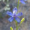 Cuyamaca Larkspur (Delphinium hesperium ssp. cuyamacae) RANUNCULACEAE