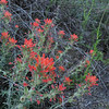 Coast Paintbrush (Castilleja affinis)