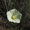 Morning-glory (Calystegia longipes)