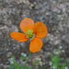 Fire Poppy (Papaver californicum)
