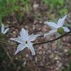 Woodland Star (Lithophragma affine) SAXIFRAGACEAE