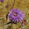 Mustang Mint (Monardella breweri ssp. lanceolata) LAMIACEAE