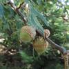California Black Oak (Quercus kelloggii) FAGACEAE