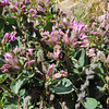 Giant Four O'clock (Mirabilis multiflora var. pubescens) NYCTAGINACEAE