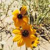 Gray Desert Sunflower (Helianthus petiolaris) ASTERACEAE