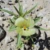 Ghost Flower (Mohavea confertiflora) PLANTAGINACEAE