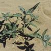 Desert Twinbugs (Dicoria canescens) ASTERACEAE