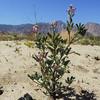 Arizona Lupine (Lupinus arizonicus) FABACEAE