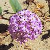 Desert Sand Verbena  (Abronia villosa) NYCTAGINACEAE