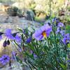 Parish's Nightshade  (Solanum parishii) SOLANACEAE