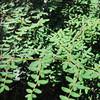 Coffee Fern  (Pellaea andromedifolia) PTERIDACEAE