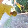 Western Sycamore  (Platanus racemosa) PLATANACEAE