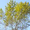 Fremont Cottonwood   (Populus fremontii) SALICACEAE