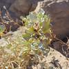 Desertholly   (Atriplex hymenelytra) CHENOPODIACEAE