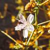 Wire Lettuce (Stephanomeria pauciflora) ASTERACEAE