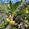 Mountain Mahogany  (Cercocarpus betuloides) ROSACEAE