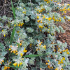 Silver-leaf Lotus (Acmispon argophyllus) FABACEAE
