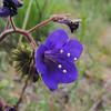 Desert Bluebells (Phacelia campanularia) BORAGINACEAE