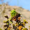 Creosote Bush Gall