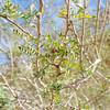 Catclaw  (Acacia greggii) FABACEAE
