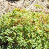 Rattlesnake Spurge  (Chamaesyce albomarginata) EUPHORBIACEAE