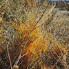 Chaparral Dodder  (Cuscuta californica) CONVOLVULACEAE