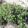 Wishbone Bush  (Mirabilis laevis) NYCTAGINACEAE