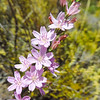 Twiggy Stephanomeria  (Stephanomeria virgata ssp. pleurocarpa) ASTERACEAE