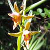 Stream Orchid  (Epipactis gigantea) ORCHIDACEAE