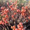 Buckwheat  (Eriogonum Sp.) POLYGONACEAE