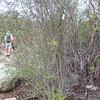 Hoaryleaf Ceanothus (Ceanothus crassifolius) RHAMNACEAE