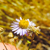 California Aster  (Corethrogyne filaginifolia) ASTERACEAE