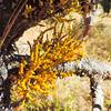 Pine Mistletoe (Arceuthobium campylopodum) VISCACEAE