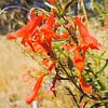 Beaked Penstemon (Penstemon rostriflorus) PLANTAGINACEAE