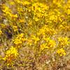 Matchweed  (Gutierrezia microcephala) ASTERACEAE