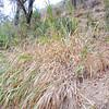 Giant Wild Rye (Elymus condensatus) POACEAE