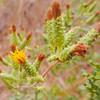 Sawtooth Goldenbush  (Hazardia squarrosa) ASTERACEAE
