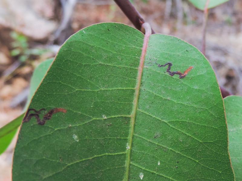 Stigmella moth leaf miner frass