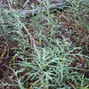 Palmer Sagewort  (Artemisia palmeri) ASTERACEAE