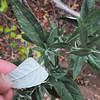 Douglas Mugwort (Artemisia douglasiana) ASTERACEAE