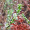 Russian Thistle (Salsola australis) CHENOPODIACEAE