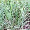 San Diego Sedge (Carex spissa) CYPERACEAE