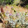 Palmer's Locoweed (Astragalus palmeri) FABACEAE