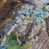 Arizona Chalk Dudleya (Dudleya arizonica) CRASSULACEAE