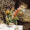 Arizona Chalk Dudleya (Dudleya arizonica) CRASSULACEAE