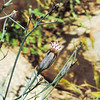 Odora (Porophyllum gracile) ASTERACEAE